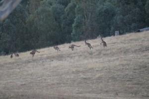 Real, live, kangaroos :)